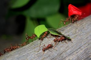 Ants are considered to be a super-organism via their hive-mind composition and their evolutionary success attributed to their highly coordinated social organization.  They modify habitats, exploit resources, defend themselves.  Nearly 12,500 species have been identified, but it's thought that as many as 22,000 species may actually exist.    Photo: by praline3001, Flickr
